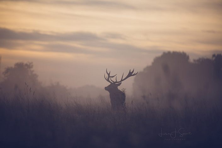 Wild Deer at Dawn