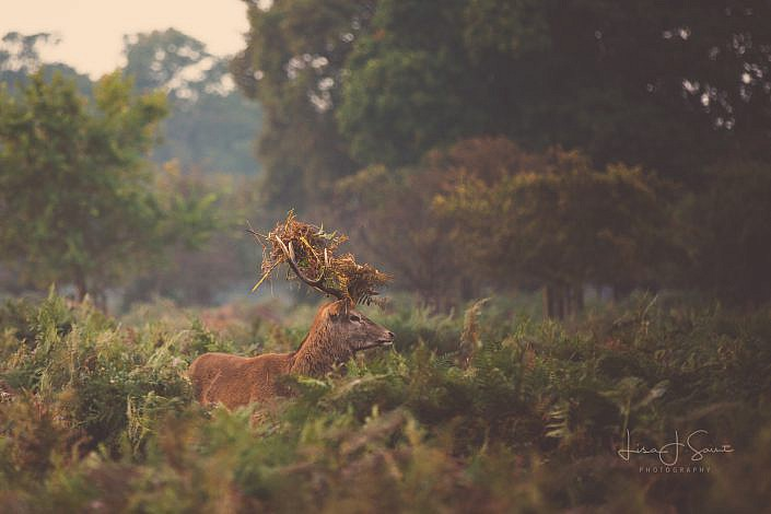 Deer in camouflage