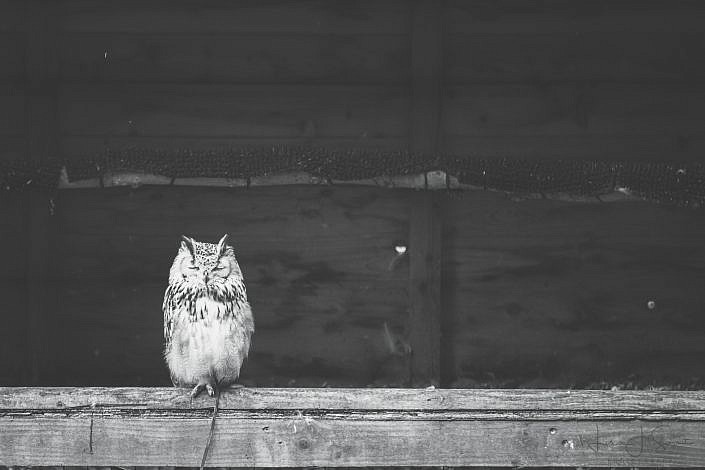 Little Owl Snoozing