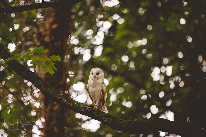 Owl - Horse Photography